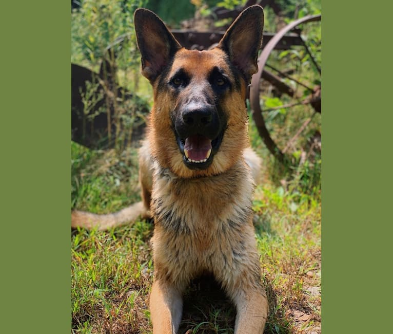 Photo of Jonas, a German Shepherd Dog  in Honey Brook, PA, USA