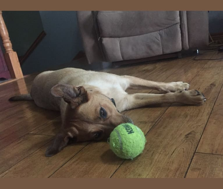 Photo of Chance, a Cocker Spaniel, Australian Cattle Dog, Chow Chow, German Shepherd Dog, and Siberian Husky mix in Billings, Missouri, USA