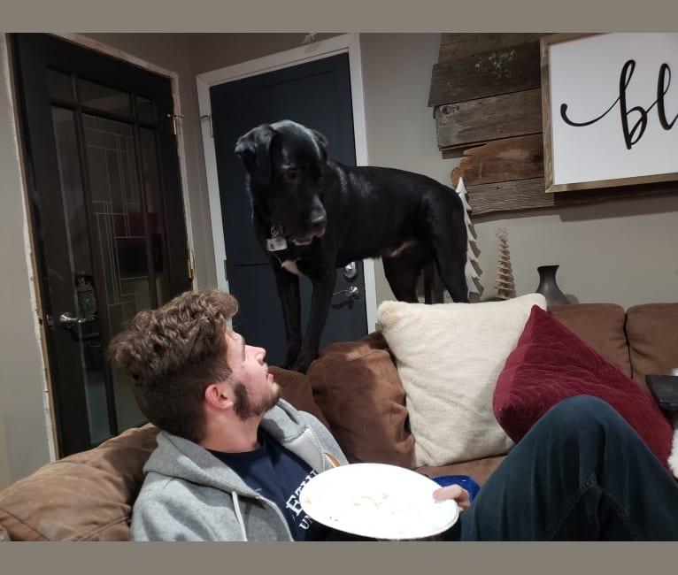 Photo of Blu, a Neapolitan Mastiff, Labrador Retriever, and American Pit Bull Terrier mix in Arkansas, USA