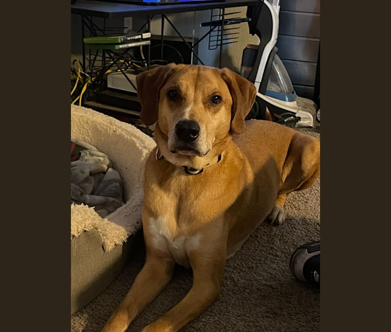 Photo of George, a Redbone Coonhound, Siberian Husky, Black and Tan Coonhound, Labrador Retriever, Plott, and Rottweiler mix in Tacoma, Washington, USA