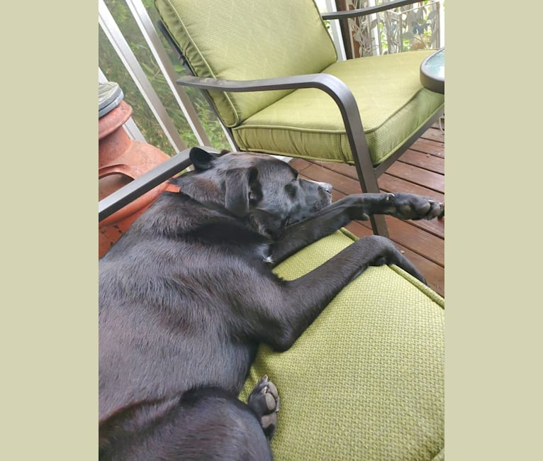 Photo of Bear, a Chow Chow, Labrador Retriever, Pug, German Shepherd Dog, American Pit Bull Terrier, and Mixed mix in Houston, Texas, USA