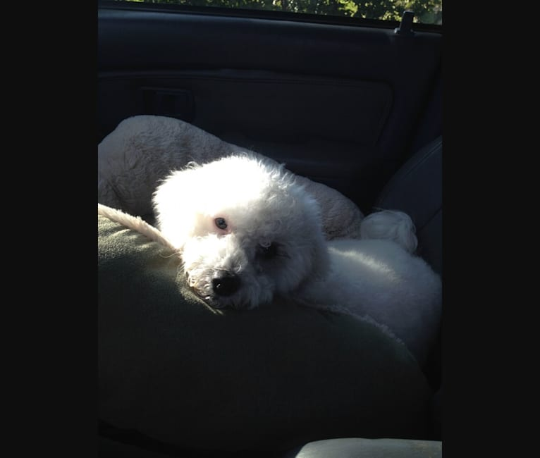 Photo of Sophia, a Poodle (Small), Pekingese, Pomeranian, and Mixed mix in Riverside, CA, USA