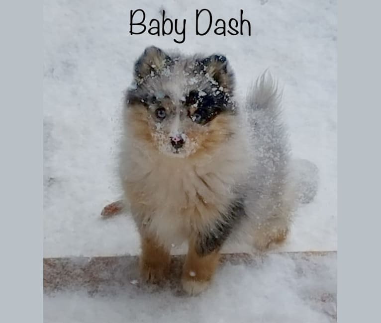 Photo of Dash, a Pomsky  in Maine Aim Ranch, King, Allerton, IA, USA