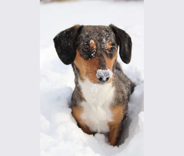 Photo of Muppy, a Border Collie and Dachshund mix in Wisconsin, USA