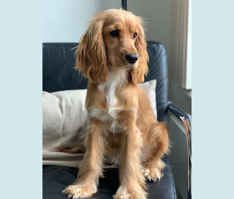 Photo of Lola, an English Cocker Spaniel  in Amsterdam, North Holland, Netherlands