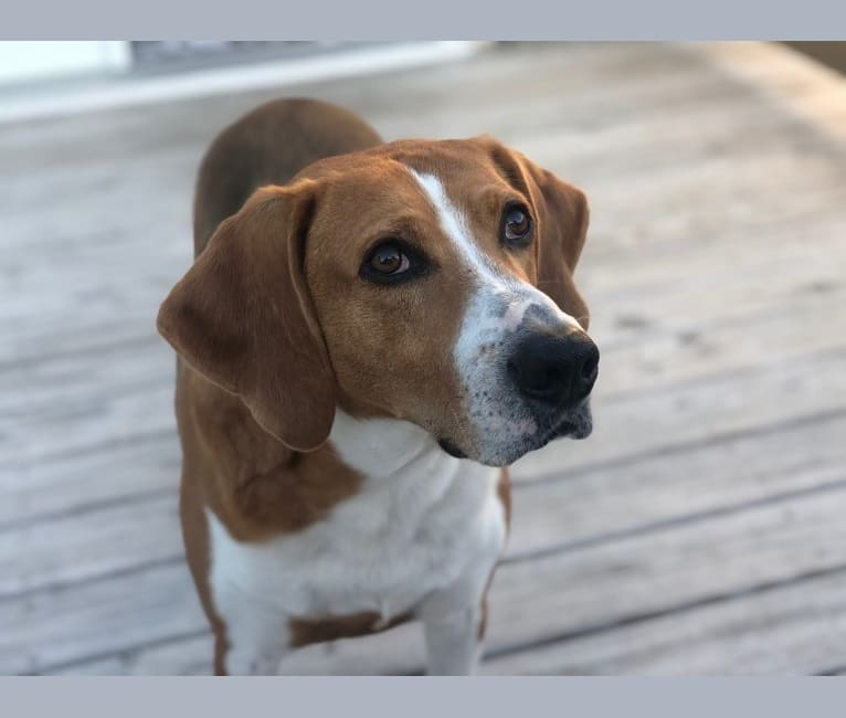 Photo of Ace, an American Foxhound  in Virginia, USA