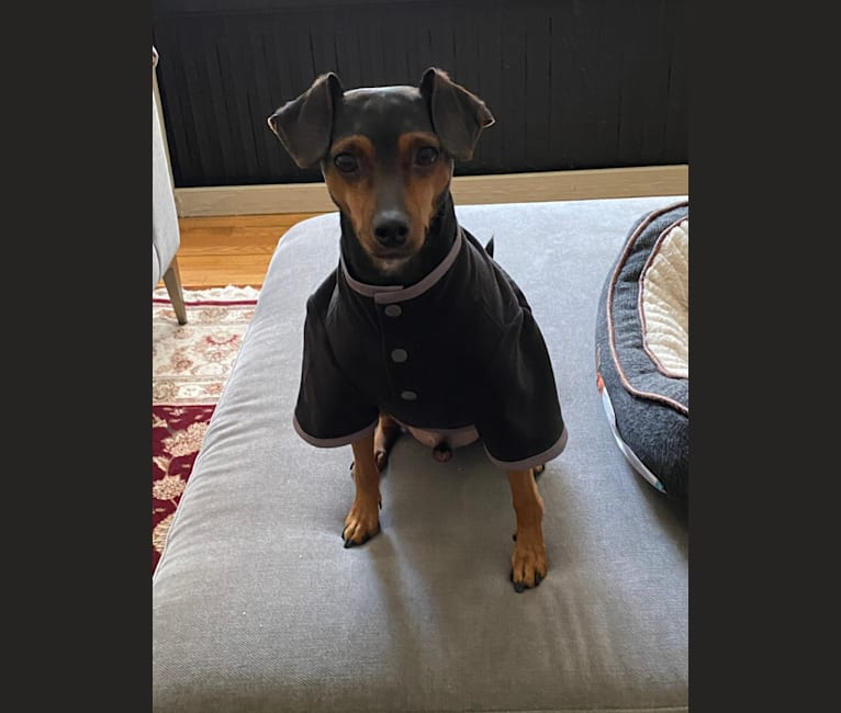 Photo of Alfie, a Miniature Pinscher, Rat Terrier, Chihuahua, and Beagle mix