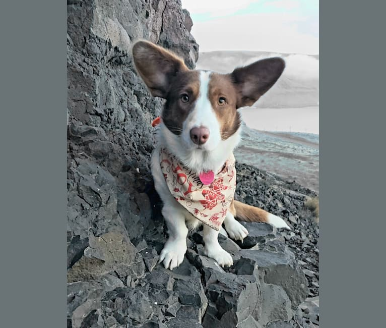 Photo of Latte, a Cardigan Welsh Corgi  in Moscow, Russia