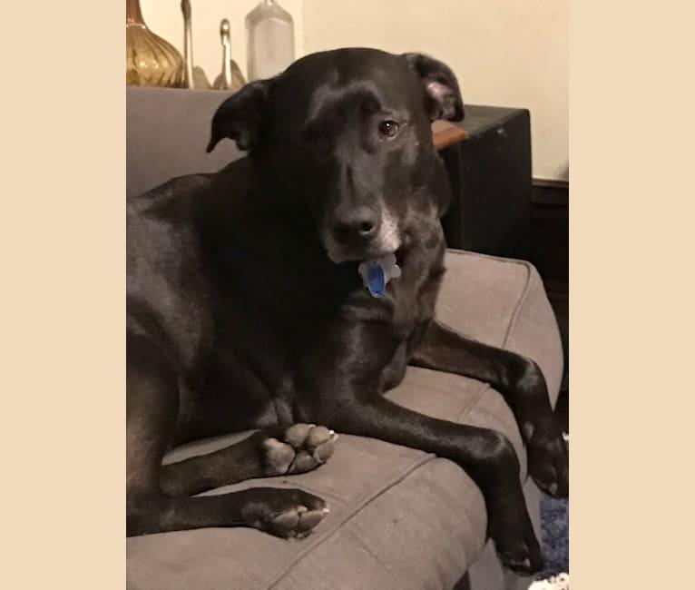 Photo of Laika, a German Shepherd Dog, Great Pyrenees, Golden Retriever, and Siberian Husky mix in Ohio, USA