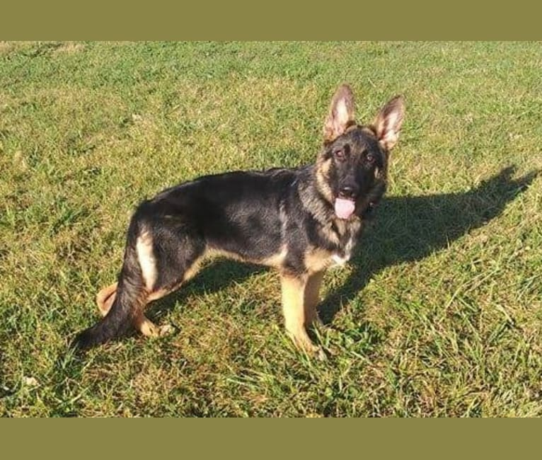 Photo of Dare, a German Shepherd Dog  in New Hampshire, USA