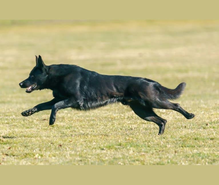 Photo of Wraith, a German Shepherd Dog  in Montana, USA