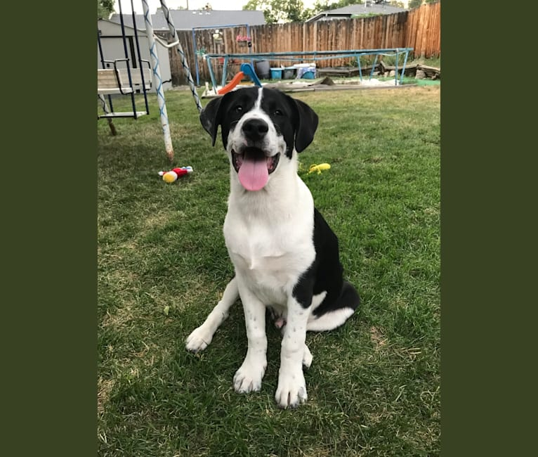 Photo of Theodore Ellington, an American Pit Bull Terrier, Siberian Husky, and Mixed mix in Highlands Ranch, Colorado, USA
