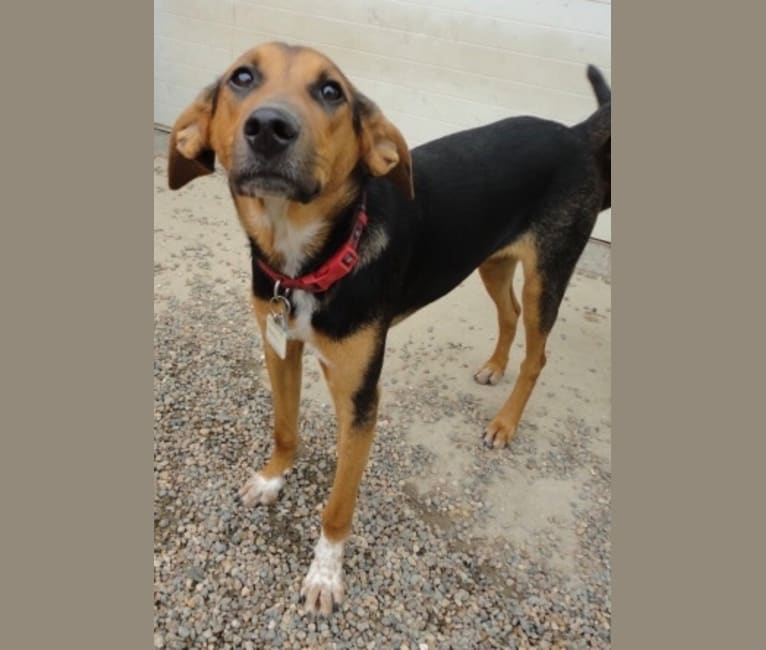Photo of Chara, a Black and Tan Coonhound, Border Collie, Collie, Australian Cattle Dog, and American Foxhound mix in Missouri, USA