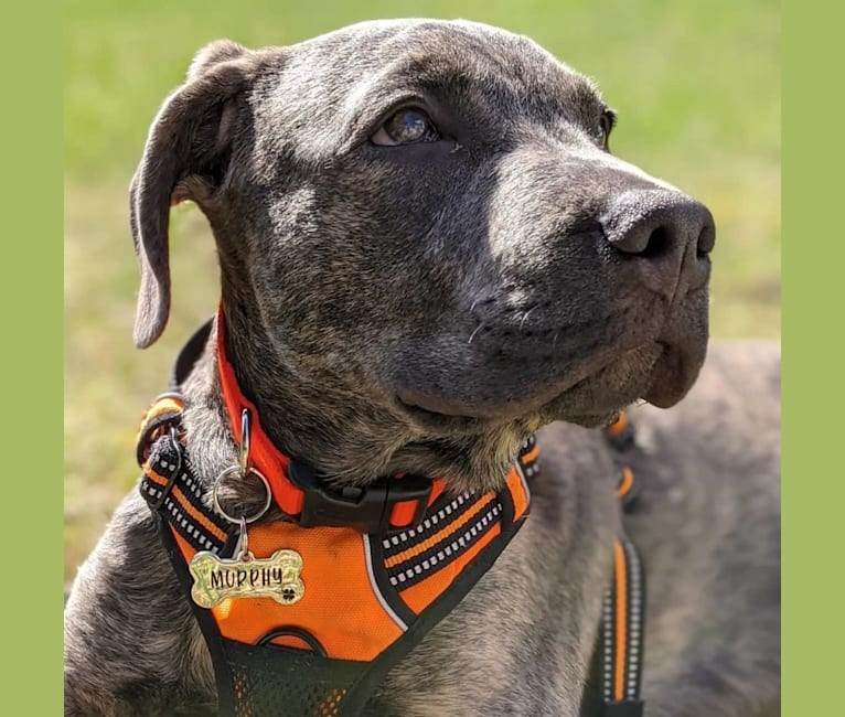 Photo of Murphy, an American Pit Bull Terrier, Mastiff, and American Staffordshire Terrier mix in Scituate, Rhode Island, USA
