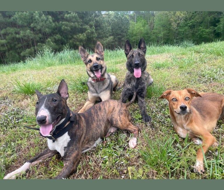 Photo of Birdie, an American Pit Bull Terrier, Treeing Walker Coonhound, Siberian Husky, Rat Terrier, Labrador Retriever, and Mixed mix
