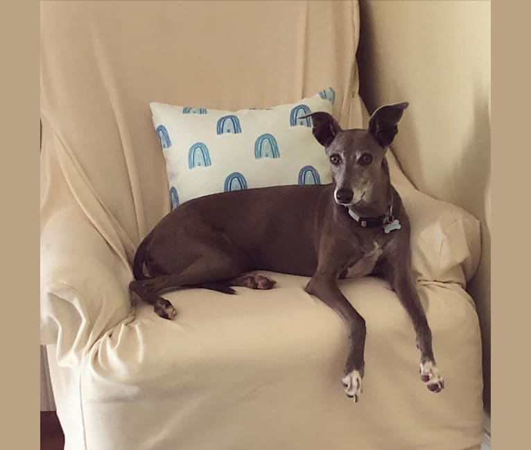 Photo of Mr. Pickles, an Italian Greyhound  in Missouri, USA