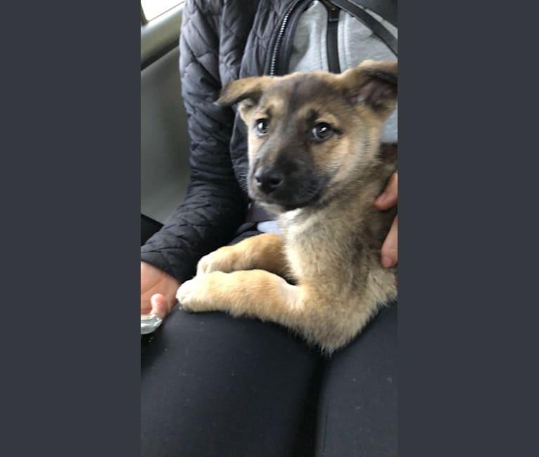 Photo of Kaya, a German Shepherd Dog, Akita, Great Pyrenees, and Australian Shepherd mix in New Mexico, USA