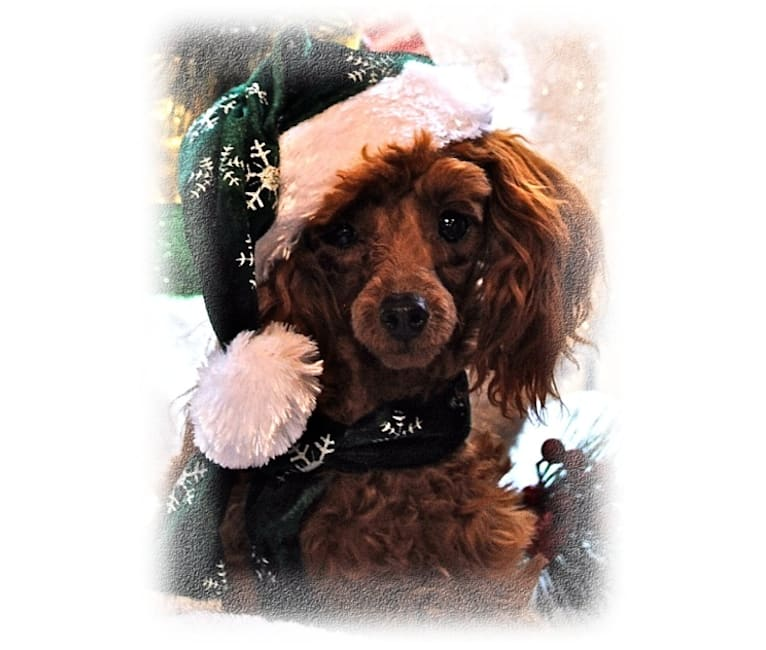 Photo of Razzie, a Poodle (Small)