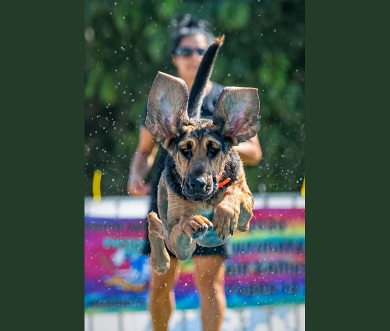 Photo of Banjo, a Bloodhound  in California, USA