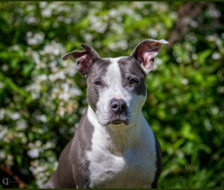 Photo of Piper Riley, an American Pit Bull Terrier and American Staffordshire Terrier mix in Lawrenceville, Georgia, USA