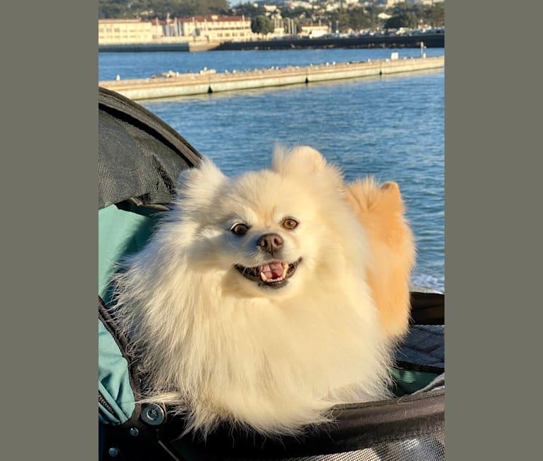 Photo of Misha, a Pomeranian  in Boulder, Colorado, USA