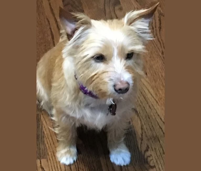 Photo of Penny Dreadful, a Yorkshire Terrier, Australian Cattle Dog, Chihuahua, and Chinese Shar-Pei mix in Houston, Texas, USA