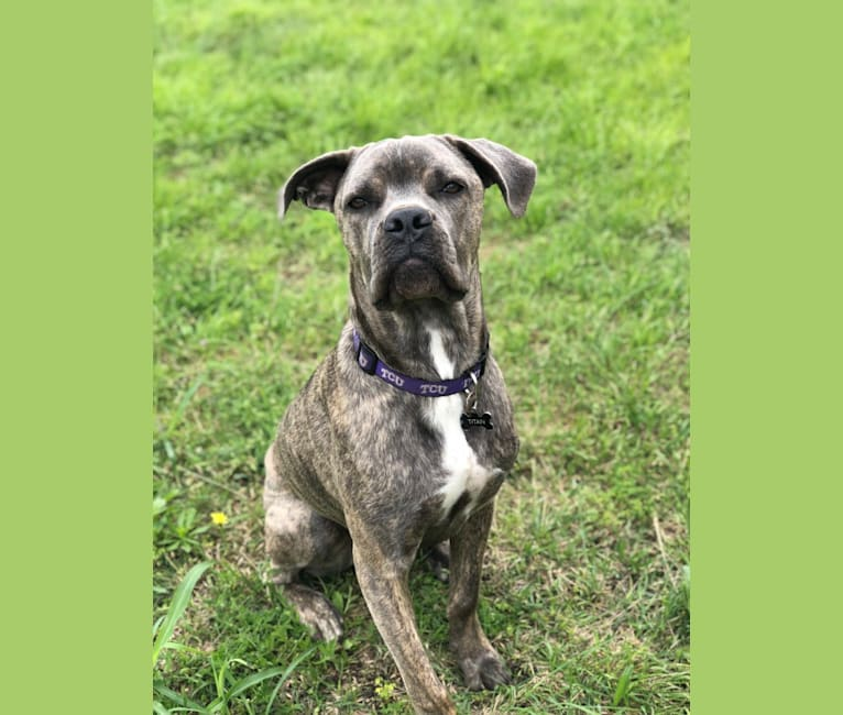 Photo of Titan, a Cane Corso  in Fort Worth, Texas, USA