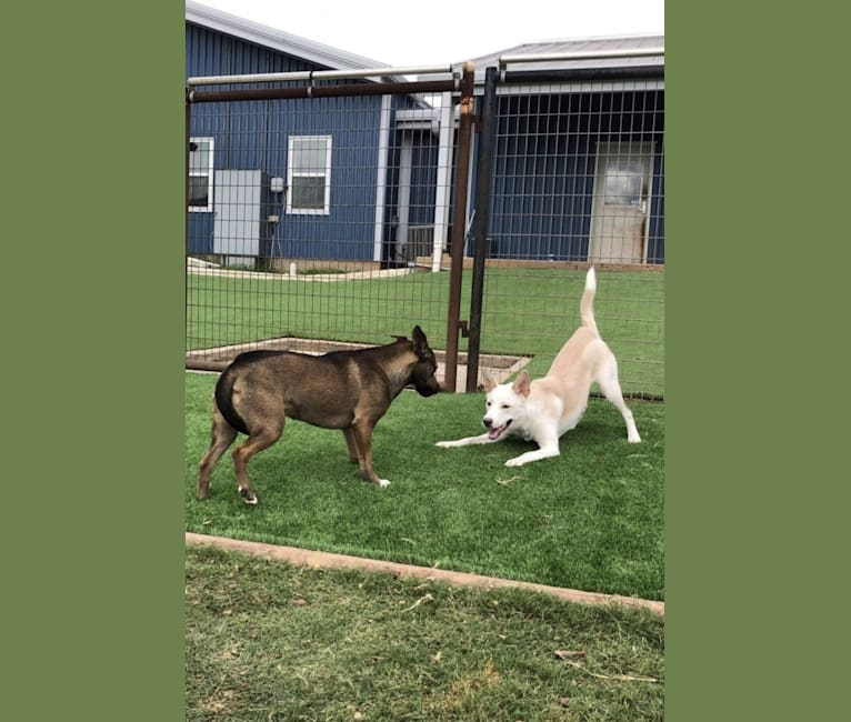 Photo of Summit, a Siberian Husky, American Pit Bull Terrier, German Shepherd Dog, and Mixed mix in Austin, Texas, USA
