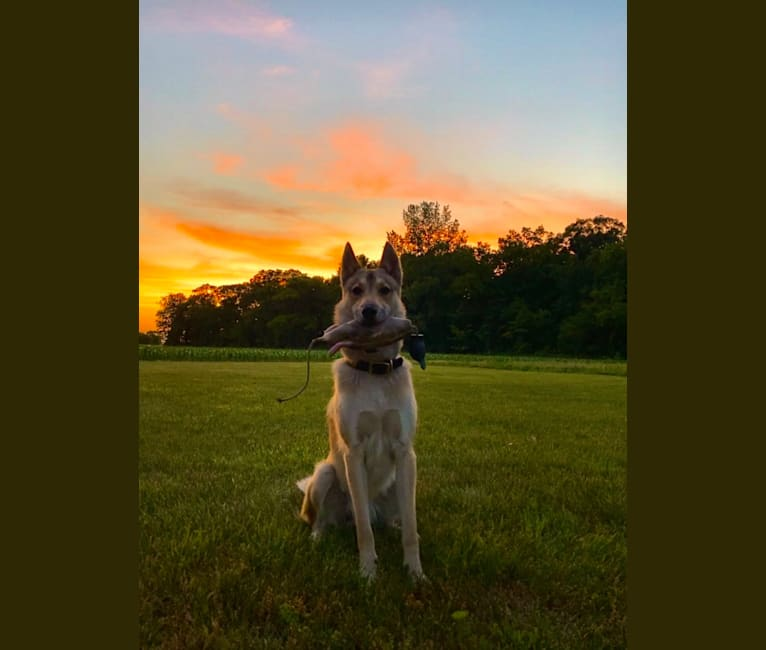 Photo of Balto, a West Siberian Laika  in Albion, Indiana, USA