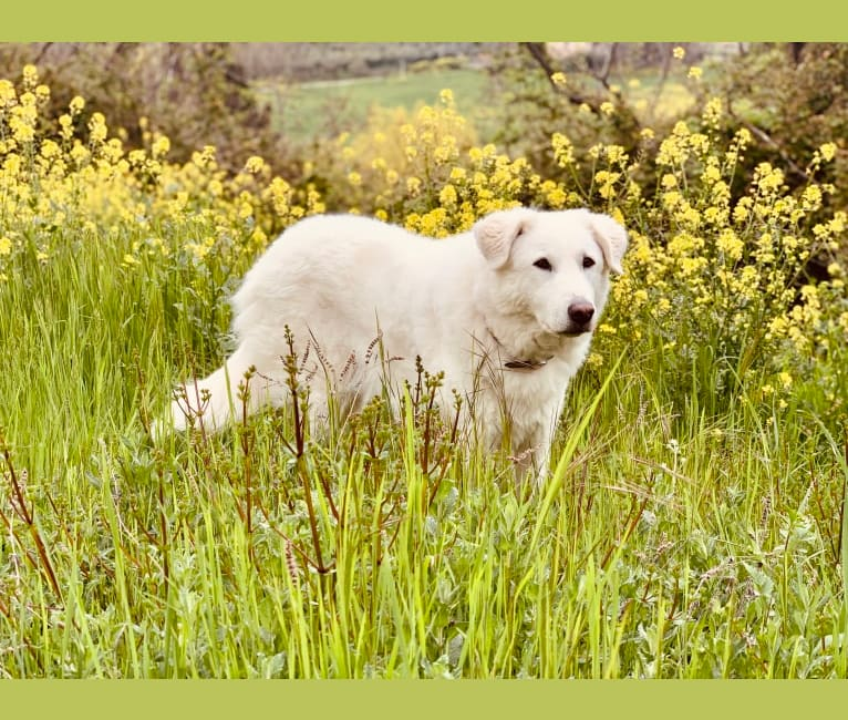 Photo of Abigail, an Eastern European Village Dog  in Roma, Lazio, Italia