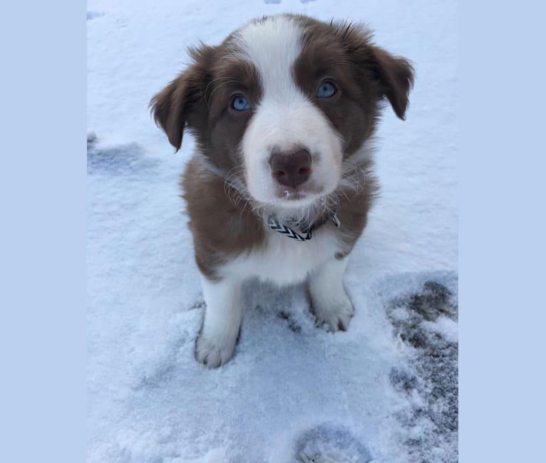 Photo of Luna, a Border Collie  in Shediac, New Brunswick, Canada