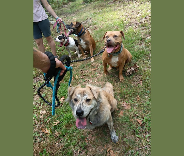 Photo of Chewie, an American Pit Bull Terrier, Chow Chow, Labrador Retriever, and Mixed mix in North Carolina, USA