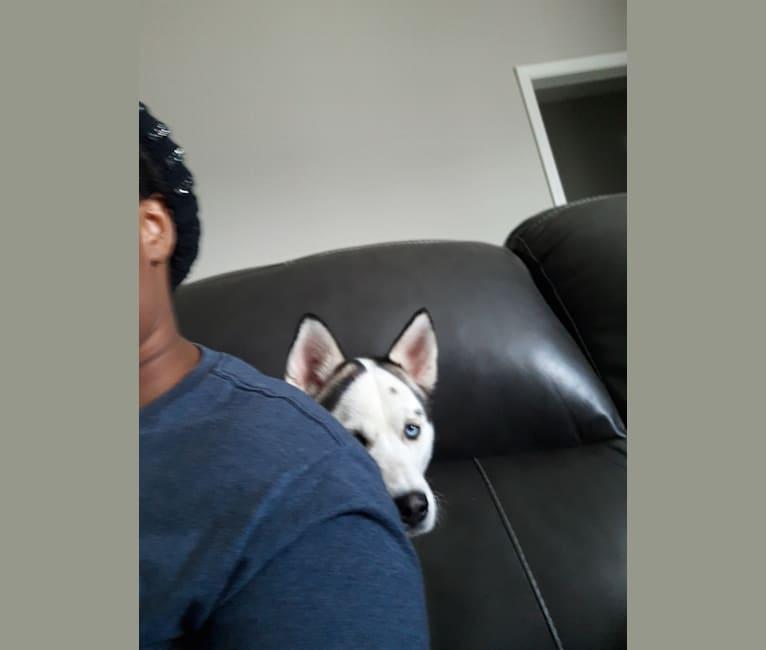 Photo of Silva, a Siberian Husky and Alaskan Malamute mix in TN, USA