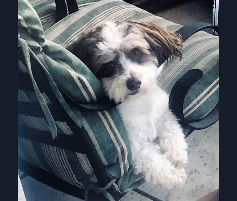 Photo of Tully, a Poodle (Small), Shih Tzu, and Maltese mix in Sacramento, California, USA