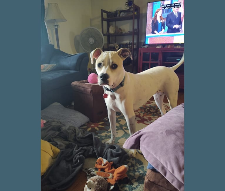 Photo of Mia, an American Pit Bull Terrier, American Staffordshire Terrier, and Boxer mix in Woodstock, Alabama, USA