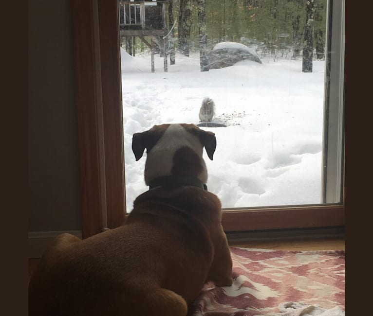 Photo of Scout, a German Shepherd Dog and American Pit Bull Terrier mix in North Yarmouth, Maine, USA