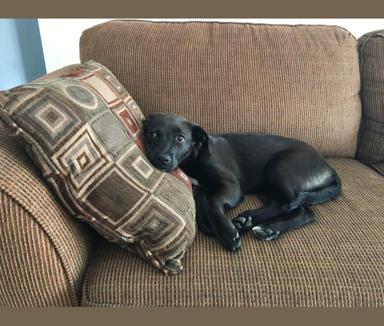 Photo of Mabel, a German Shepherd Dog, Boxer, Rottweiler, Bulldog, Chesapeake Bay Retriever, Siberian Husky, and Mixed mix in Manitoba, Canada