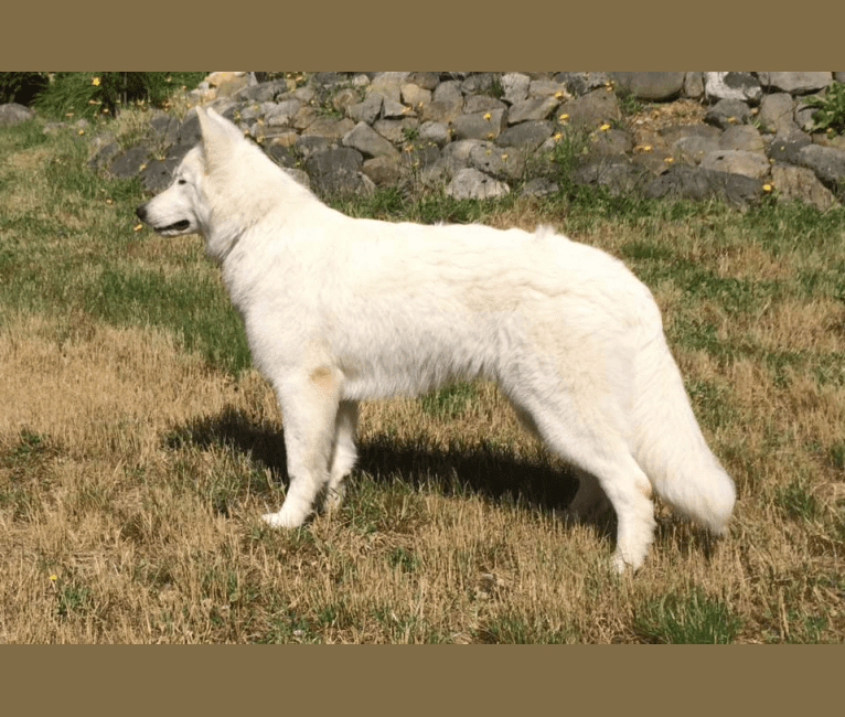 Photo of Bela, a White Shepherd  in Vancouver Island, British Columbia, Canada