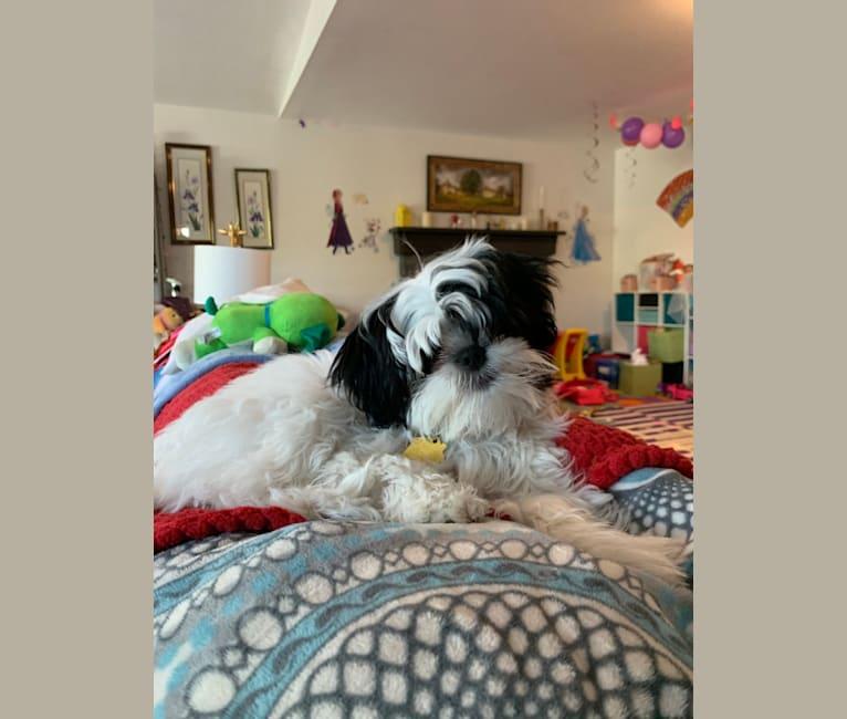 Photo of Luna, a Shih Tzu, Japanese Chin, Pekingese, and Miniature Pinscher mix in Southfield, Michigan, USA