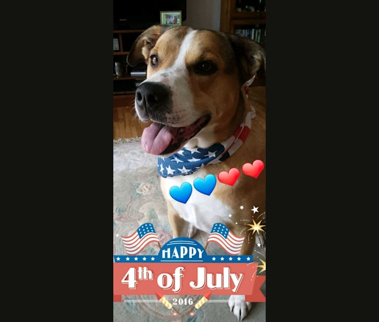 Photo of Chopper, a Bulldog, Border Collie, Australian Cattle Dog, Boxer, and Rat Terrier mix in Tennessee, USA