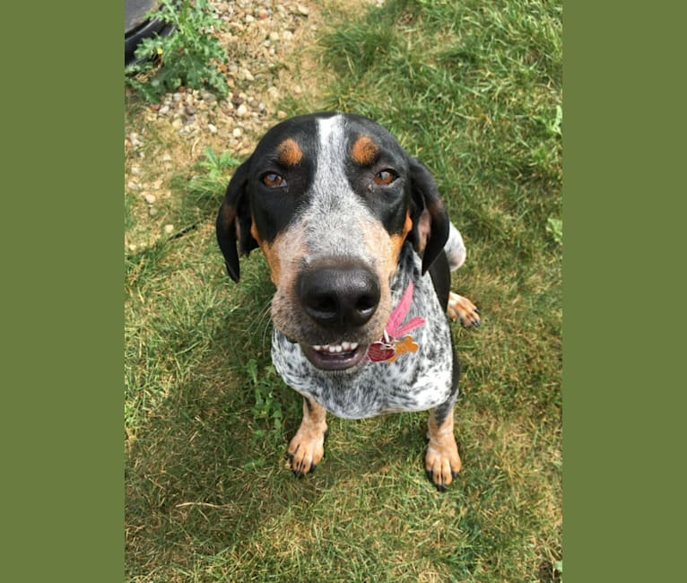 Photo of Lynard, an American English Coonhound  in Euclid, Ohio, USA