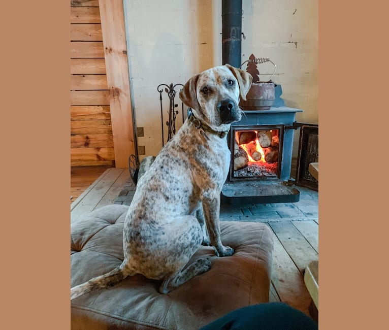 Photo of Coby, an American Pit Bull Terrier and Bluetick Coonhound mix in Crowley, LA, USA