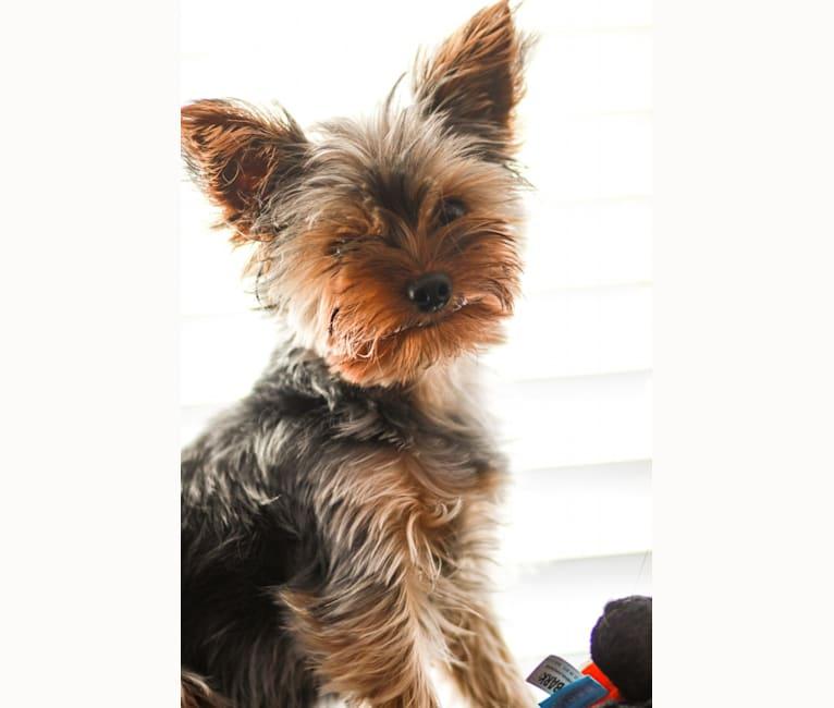 Photo of Ellie, a Yorkshire Terrier  in Cuenca, Ecuador