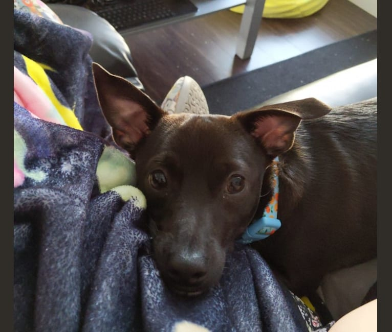 Photo of Iggy, a Chihuahua, Rat Terrier, Poodle (Small), Miniature Pinscher, and Mixed mix in Madras, Oregon, USA