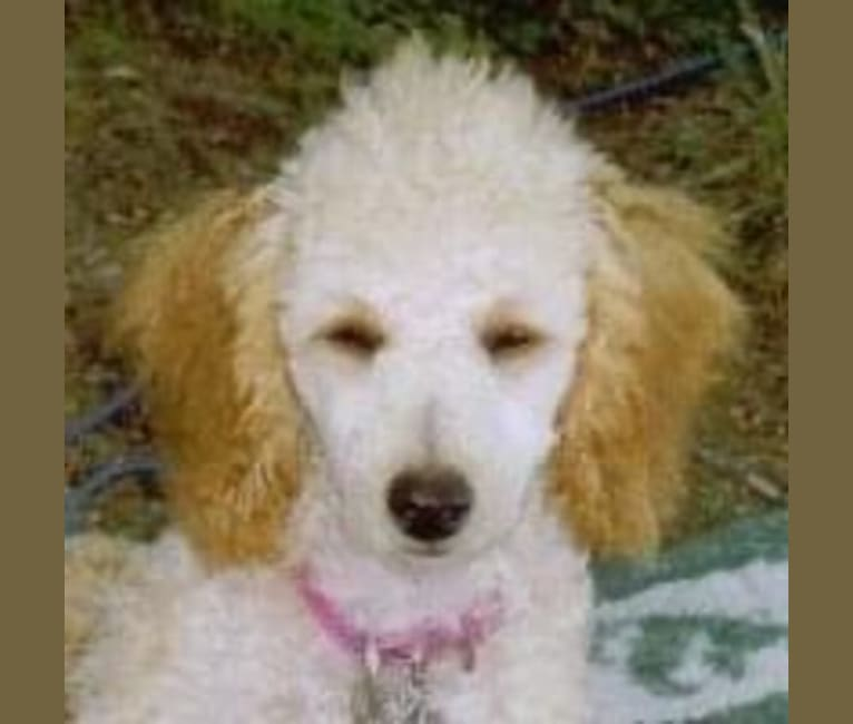 Photo of Molly Poodle, a Poodle (Small)  in Clarksville, NH, USA