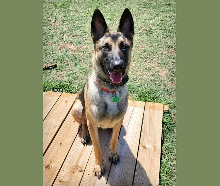 Photo of Rhodey, a German Shepherd Dog, Dutch Shepherd, and Belgian Malinois mix in Cedar Creek, Texas, USA