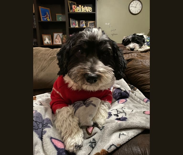 Photo of Ossy, a Havanese  in Jacksonville, Florida, USA
