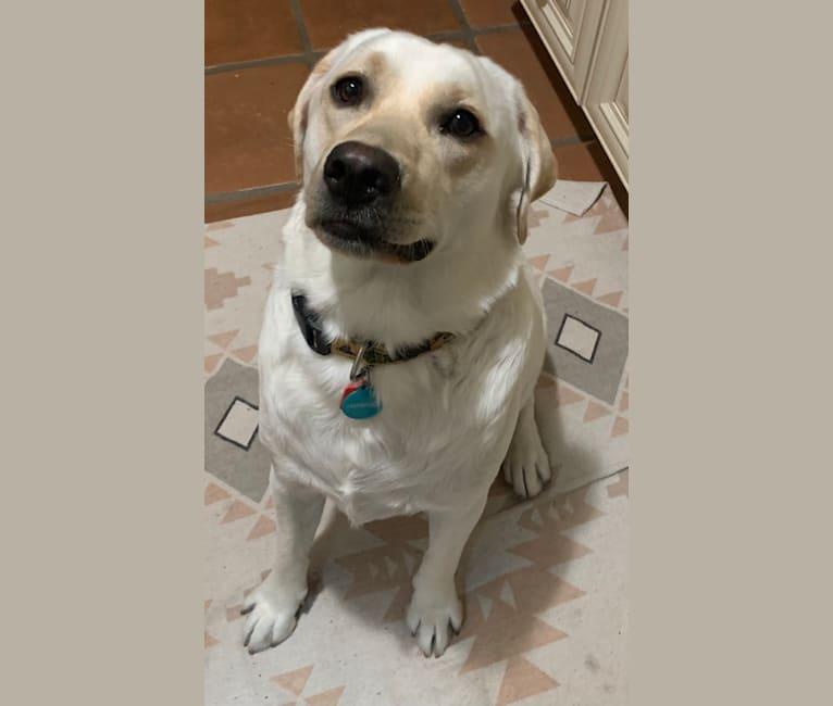 Photo of Pongo, a Labrador Retriever  in San Diego, California, USA