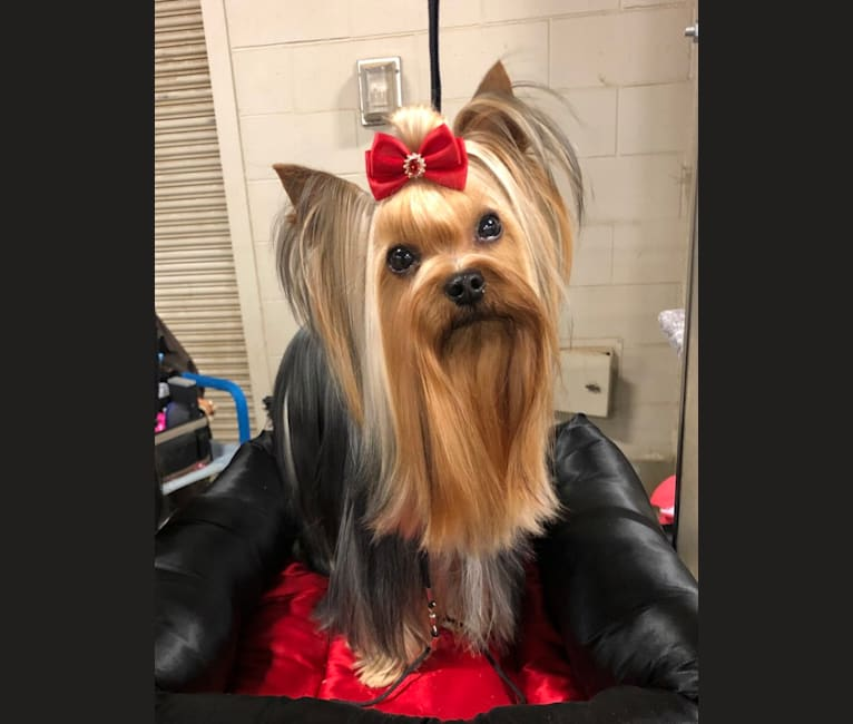 Photo of Yeti, a Yorkshire Terrier  in Slovakia