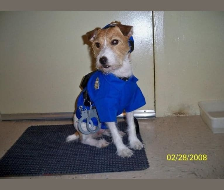 Photo of Jack Warfield Ruiz, a Russell-type Terrier  in New York, USA